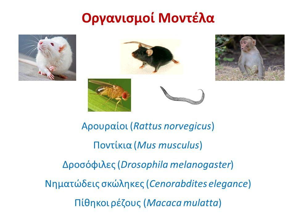 Οργανισμοί Μοντέλα Αρουραίοι (Rattus norvegicus)
