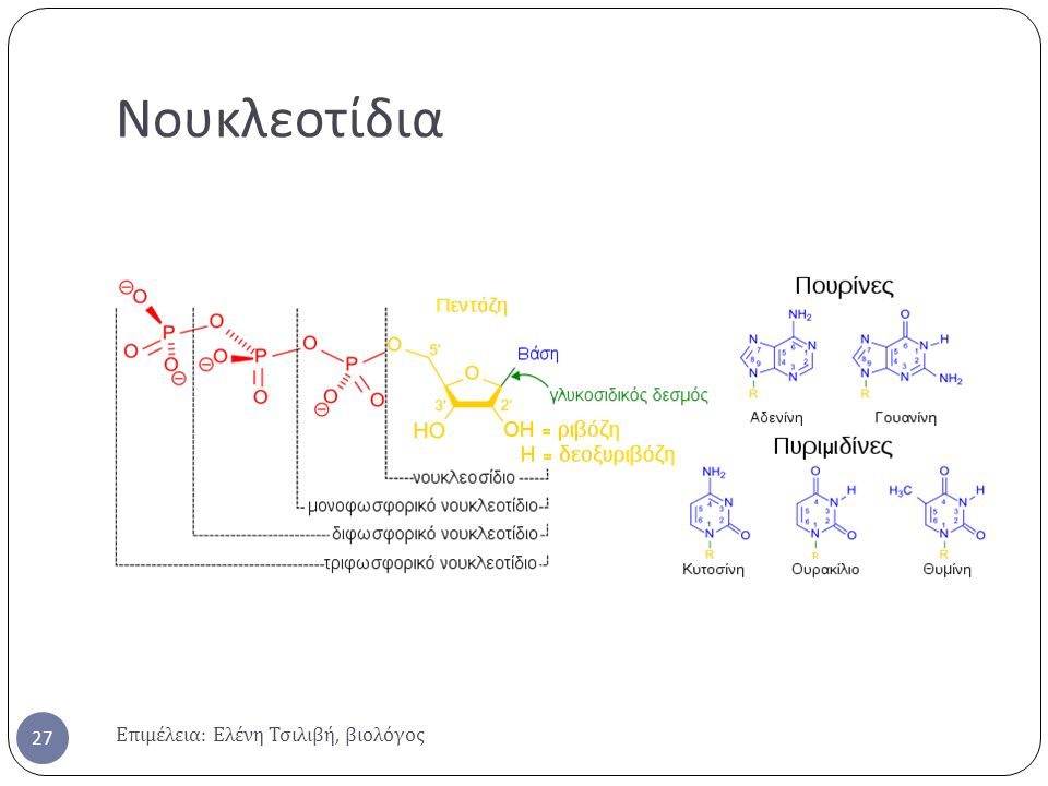 Νουκλεοτίδια Επιμέλεια: Ελένη Τσιλιβή, βιολόγος