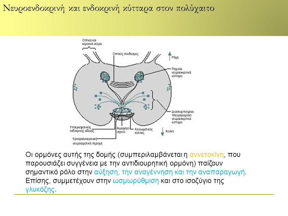 Νευροενδοκρινή και ενδοκρινή κύτταρα στον πολύχαιτο