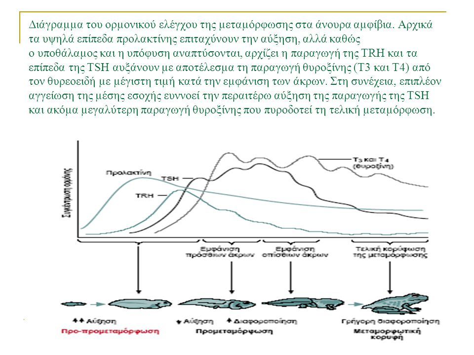 Διάγραµµα του ορµονικού ελέγχου της µεταµόρφωσης στα άνουρα αµφίβια