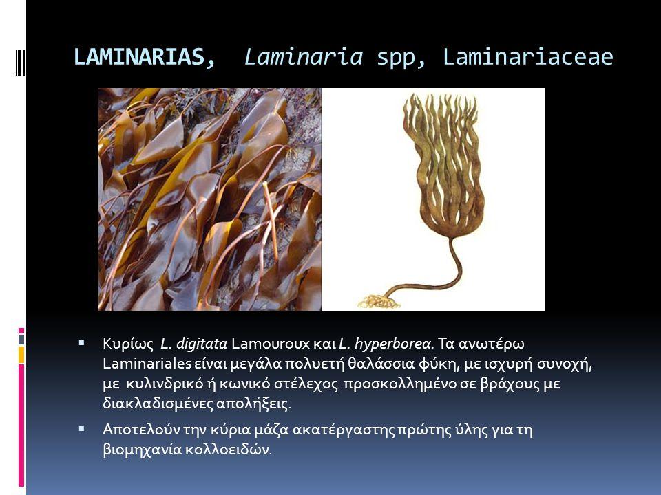 LAMINARIAS, Laminaria spp, Laminariaceae