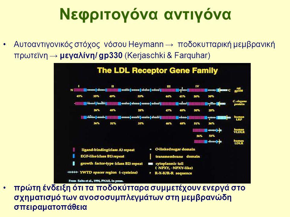 Νεφριτογόνα αντιγόνα Αυτοαντιγονικός στόχος νόσου Heymann → ποδοκυτταρική μεμβρανική πρωτεϊνη → μεγαλίνη/ gp330 (Kerjaschki & Farquhar)