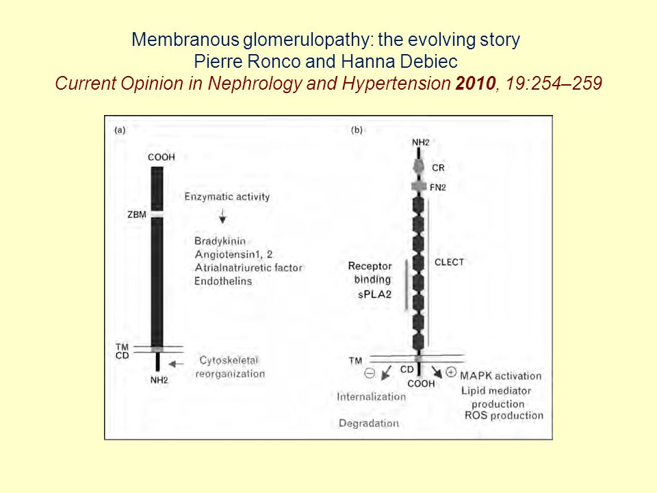 Membranous glomerulopathy: the evolving story Pierre Ronco and Hanna Debiec Current Opinion in Nephrology and Hypertension 2010, 19:254–259