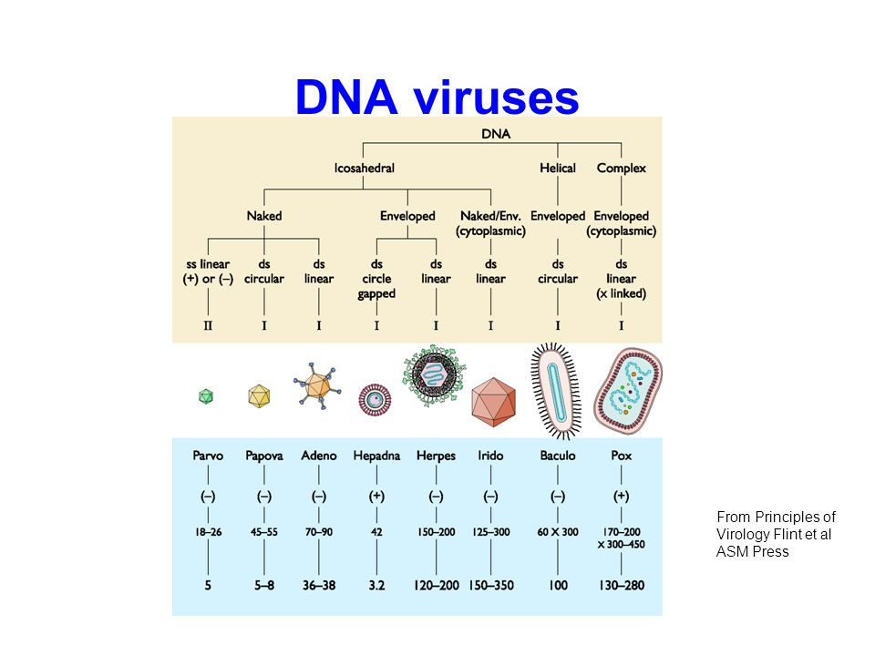 DNA viruses From Principles of Virology Flint et al ASM Press