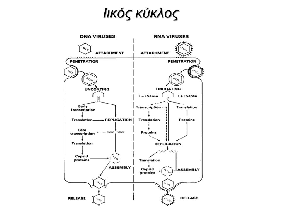 Ιικός κύκλος