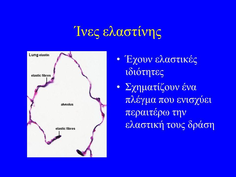 Ίνες ελαστίνης Έχουν ελαστικές ιδιότητες