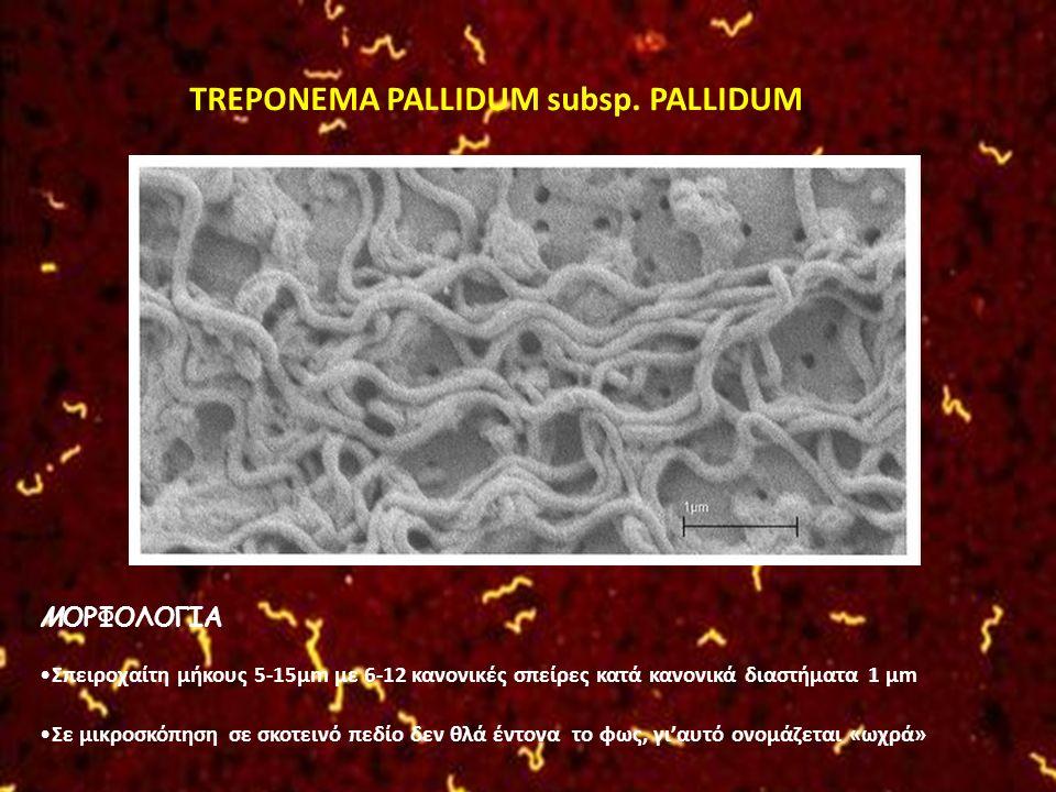 TREPONEMA PALLIDUM subsp. PALLIDUM
