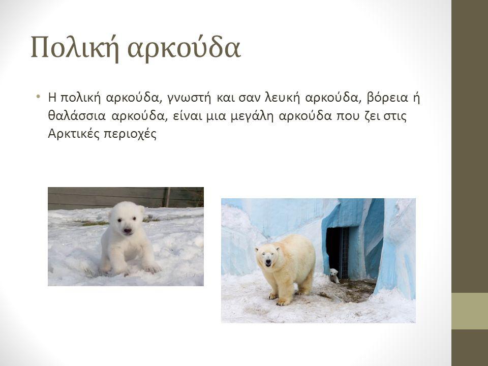 Πολική αρκούδα Η πολική αρκούδα, γνωστή και σαν λευκή αρκούδα, βόρεια ή θαλάσσια αρκούδα, είναι μια μεγάλη αρκούδα που ζει στις Αρκτικές περιοχές.