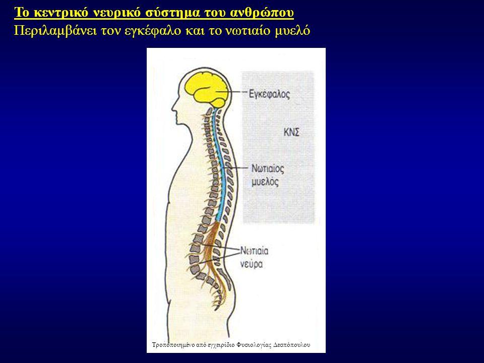 Το κεντρικό νευρικό σύστημα του ανθρώπου