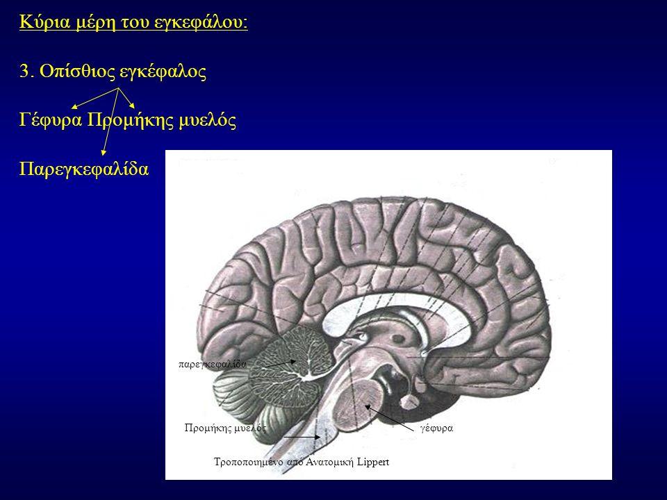 Κύρια μέρη του εγκεφάλου: 3. Οπίσθιος εγκέφαλος Γέφυρα Προμήκης μυελός