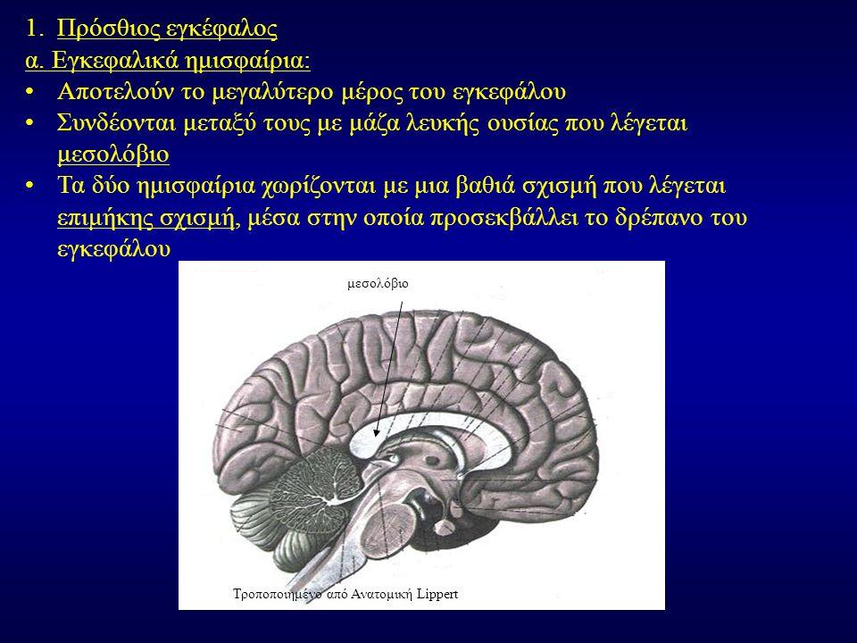 α. Εγκεφαλικά ημισφαίρια: Αποτελούν το μεγαλύτερο μέρος του εγκεφάλου