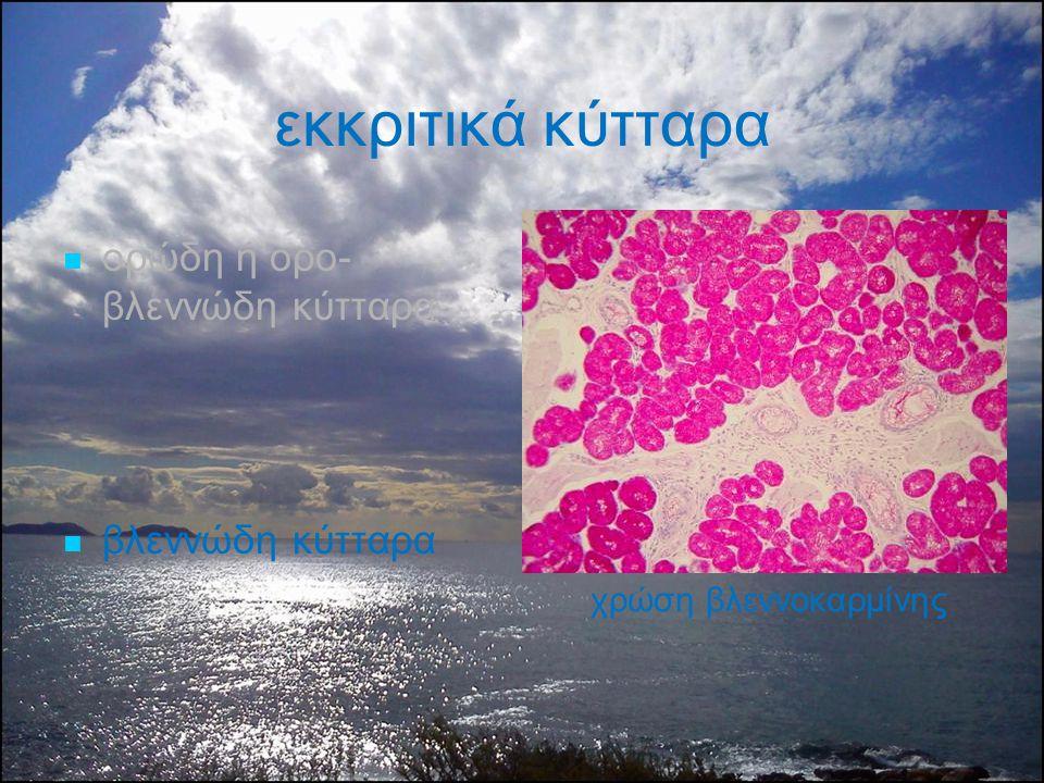εκκριτικά κύτταρα ορώδη ή ορο-βλεννώδη κύτταρα βλεννώδη κύτταρα