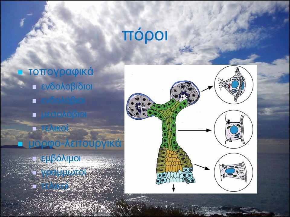 πόροι τοπογραφικά μορφο-λειτουργικά ενδολοβίδιοι ενδολόβιοι μεσολόβιοι
