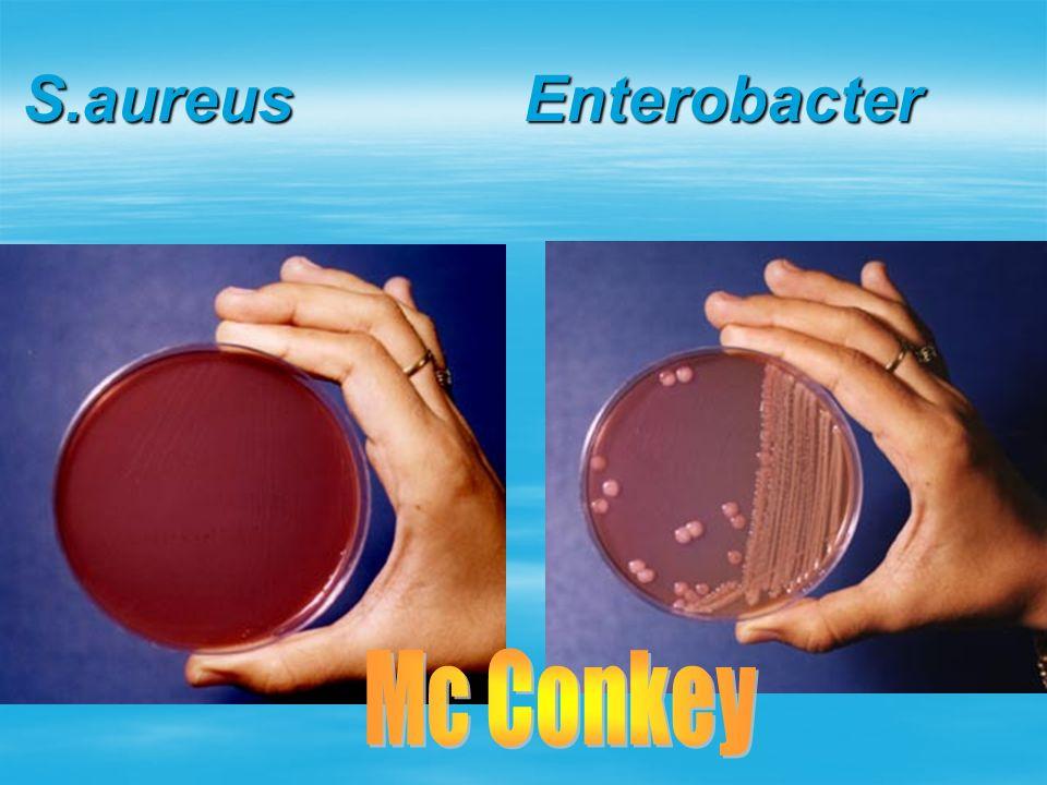 S.aureus Enterobacter Mc Conkey