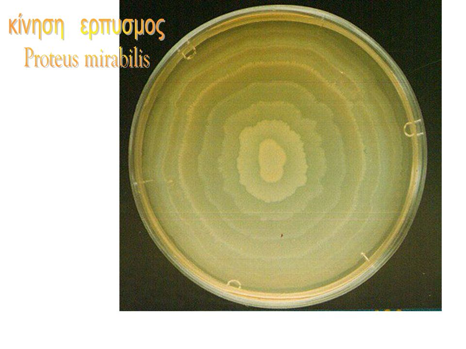 κίνηση ερπυσμος Proteus mirabilis