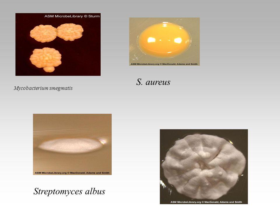 S. aureus Mycobacterium smegmatis Lactobacillus Streptomyces albus