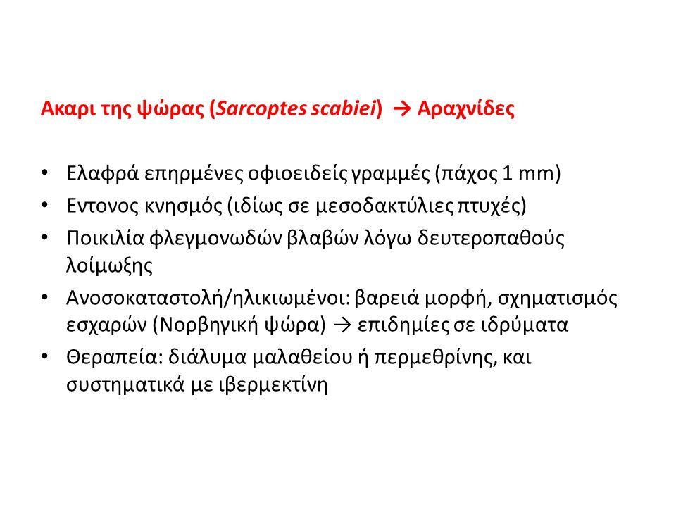 Ακαρι της ψώρας (Sarcoptes scabiei) → Αραχνίδες