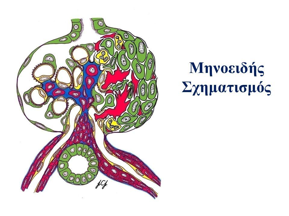 Μηνοειδής Σχηματισμός