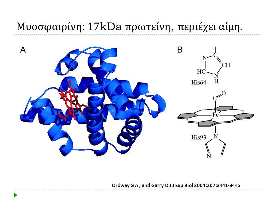 Μυοσφαιρίνη: 17kDa πρωτείνη, περιέχει αίμη.