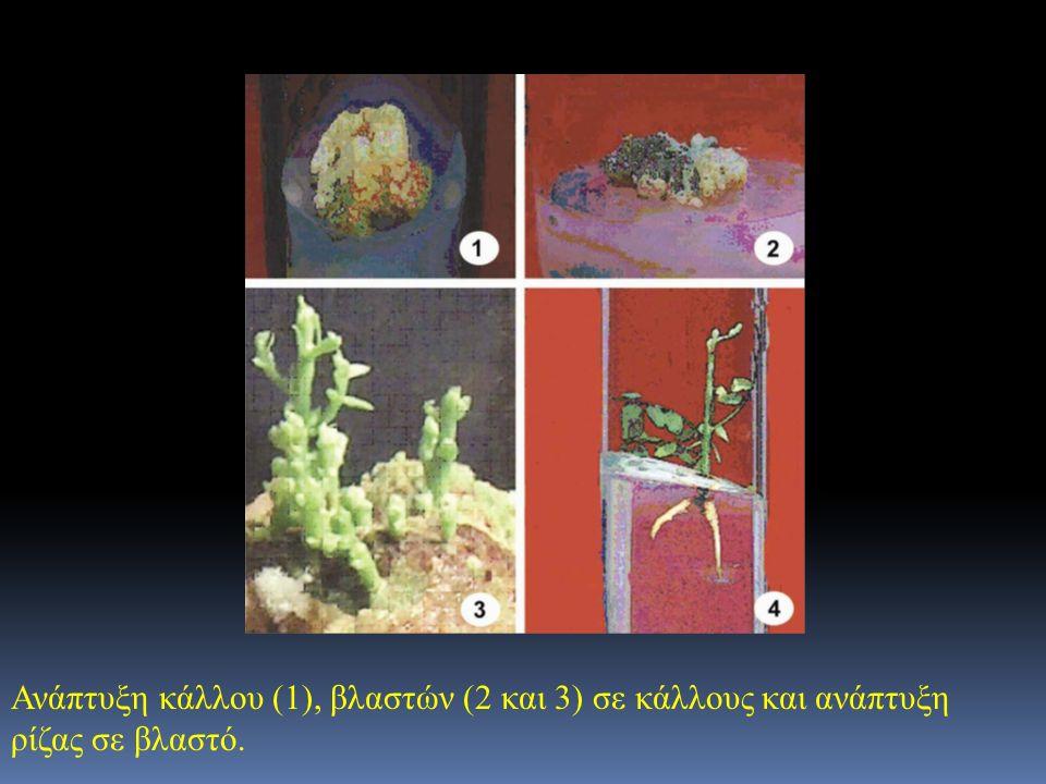 Ανάπτυξη κάλλου (1), βλαστών (2 και 3) σε κάλλους και ανάπτυξη ρίζας σε βλαστό.