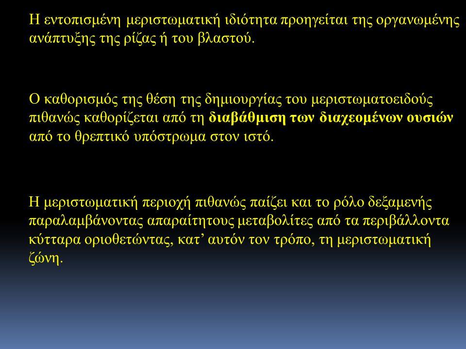 Η εντοπισμένη μεριστωματική ιδιότητα προηγείται της οργανωμένης ανάπτυξης της ρίζας ή του βλαστού.
