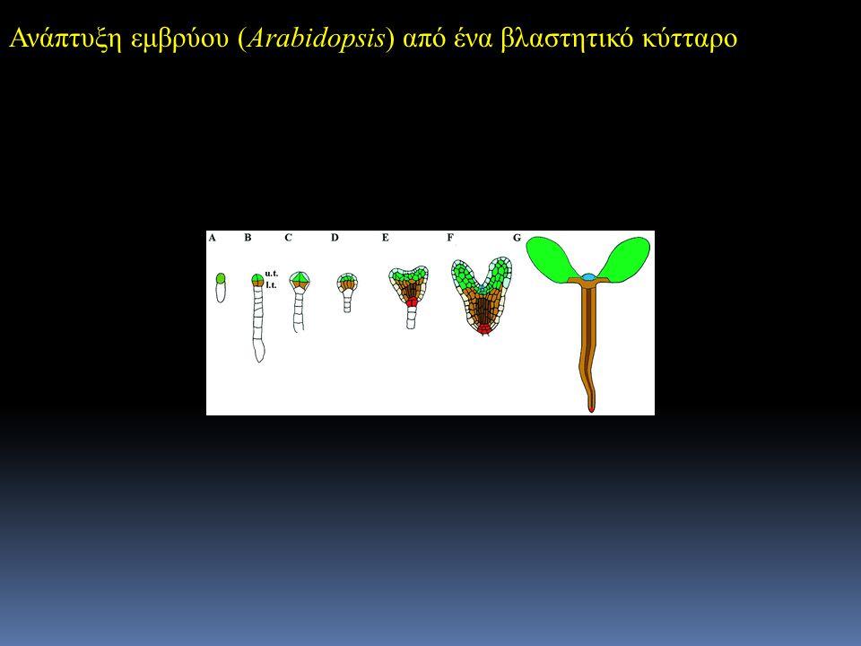 Ανάπτυξη εμβρύου (Arabidopsis) από ένα βλαστητικό κύτταρο