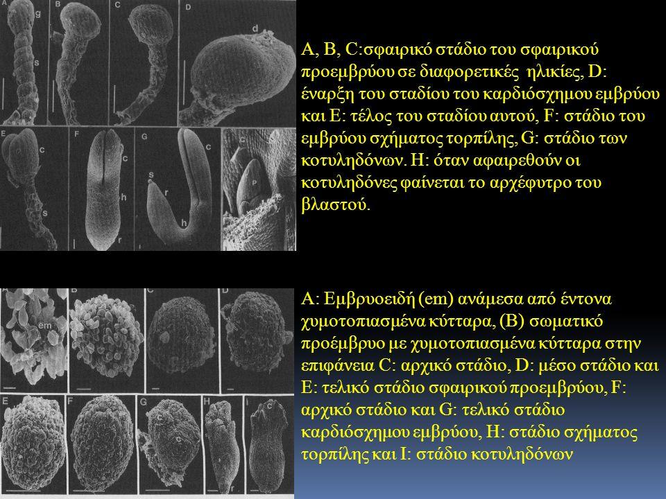 Α, Β, C:σφαιρικό στάδιο του σφαιρικού προεμβρύου σε διαφορετικές ηλικίες, D: έναρξη του σταδίου του καρδιόσχημου εμβρύου και Ε: τέλος του σταδίου αυτού, F: στάδιο του εμβρύου σχήματος τορπίλης, G: στάδιο των κοτυληδόνων. Η: όταν αφαιρεθούν οι κοτυληδόνες φαίνεται το αρχέφυτρο του βλαστού.