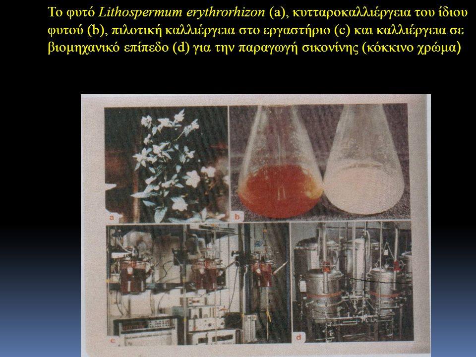 Το φυτό Lithospermum erythrorhizon (a), κυτταροκαλλιέργεια του ίδιου φυτού (b), πιλοτική καλλιέργεια στο εργαστήριο (c) και καλλιέργεια σε βιομηχανικό επίπεδο (d) για την παραγωγή σικονίνης (κόκκινο χρώμα)