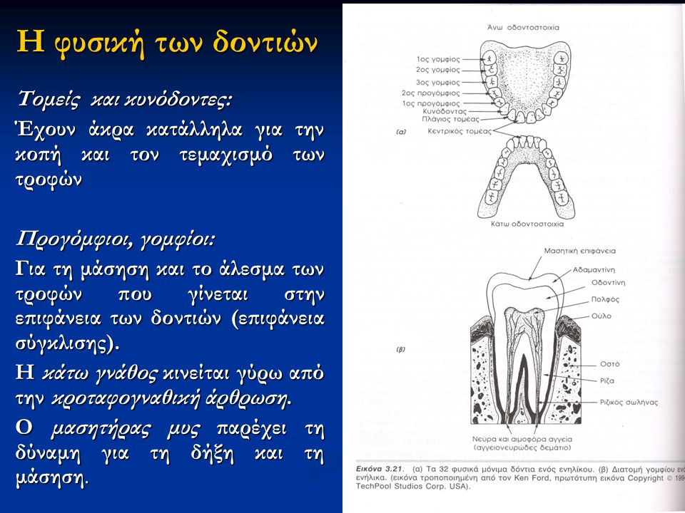 Η φυσική των δοντιών Τομείς και κυνόδοντες: