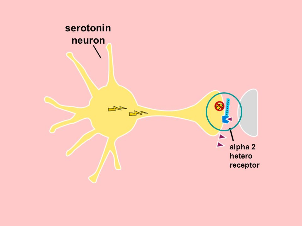 serotonin neuron alpha 2 hetero receptor