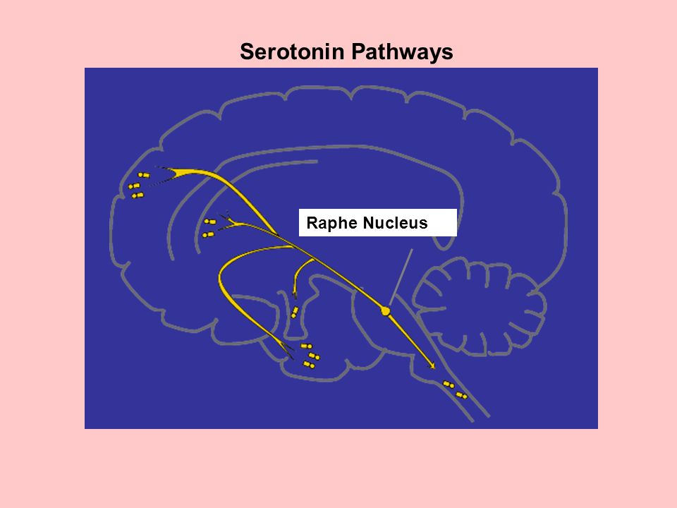 Serotonin Pathways Raphe Nucleus