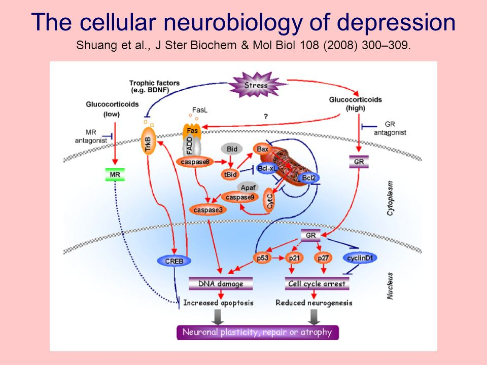 The cellular neurobiology of depression Shuang et al