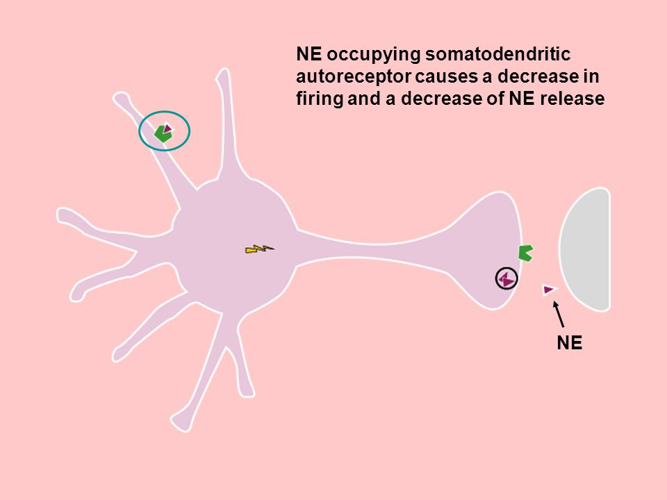 NE occupying somatodendritic autoreceptor causes a decrease in firing and a decrease of NE release