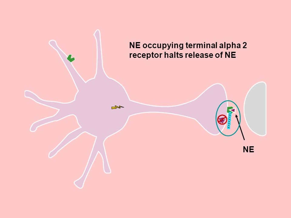 NE occupying terminal alpha 2 receptor halts release of NE