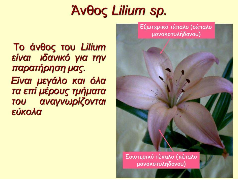 Άνθος Lilium sp. Εξωτερικό τέπαλο (σέπαλο μονοκοτυλήδονου) Το άνθος του Lilium είναι ιδανικό για την παρατήρηση μας.