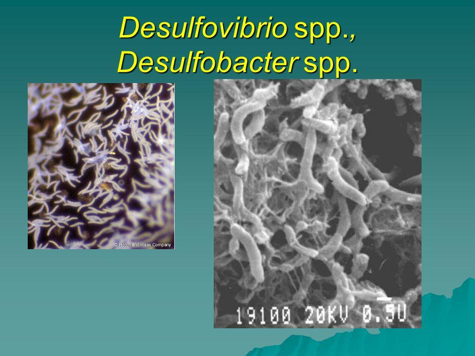 Desulfovibrio spp., Desulfobacter spp.