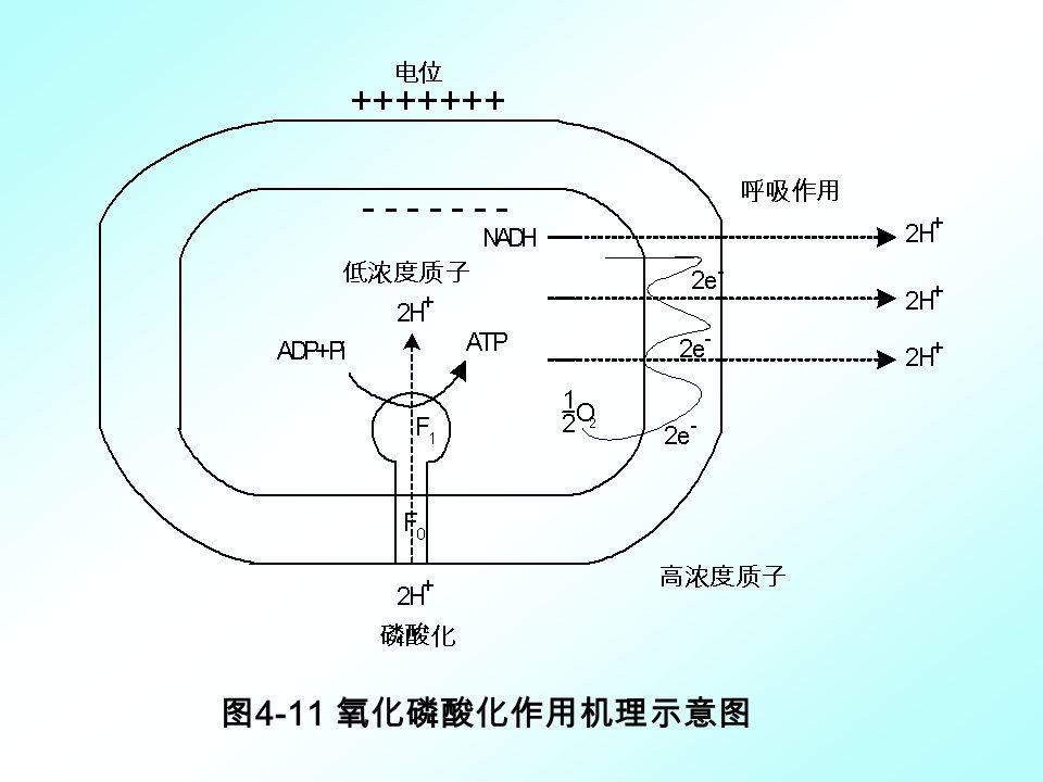 图4-11 氧化磷酸化作用机理示意图