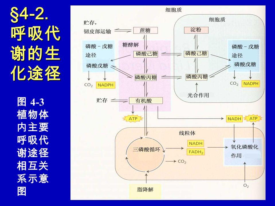 §4-2. 呼吸代谢的生化途径 图 4-3 植物体内主要呼吸代谢途径相互关系示意图