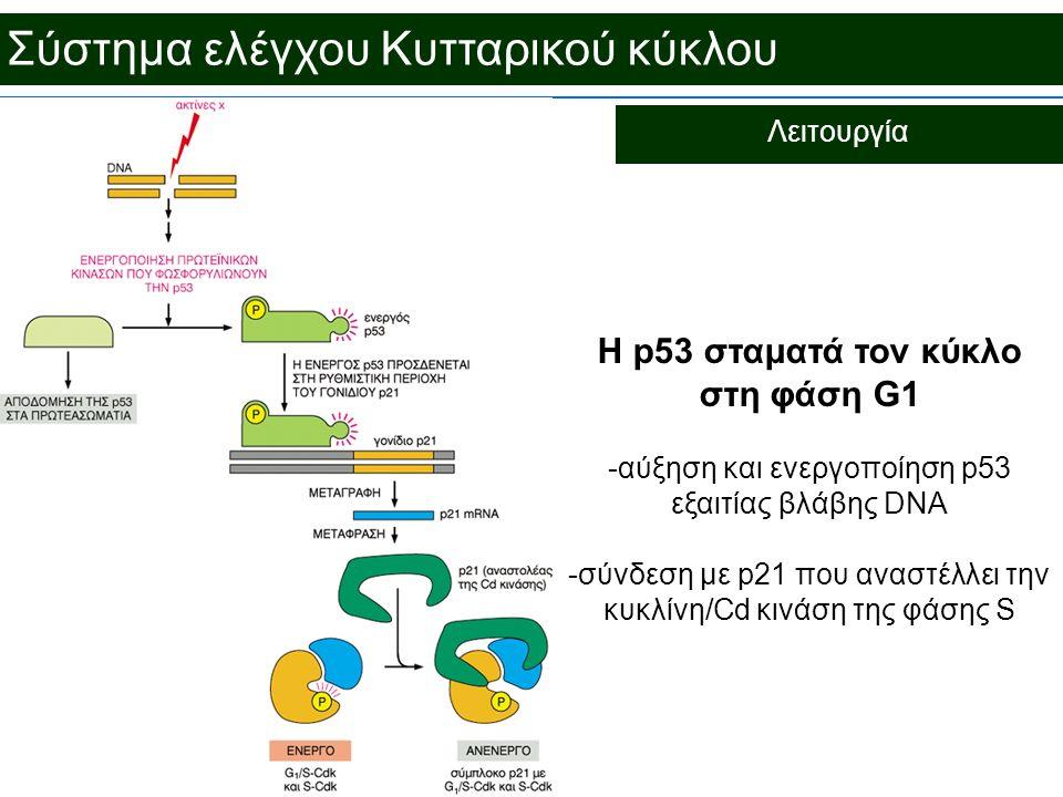 H p53 σταματά τον κύκλο στη φάση G1