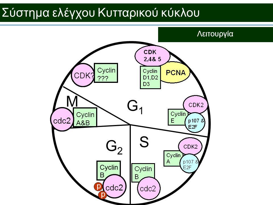 M G1 S G2 Σύστημα ελέγχου Κυτταρικού κύκλου cdc2 Λειτουργία CDK p
