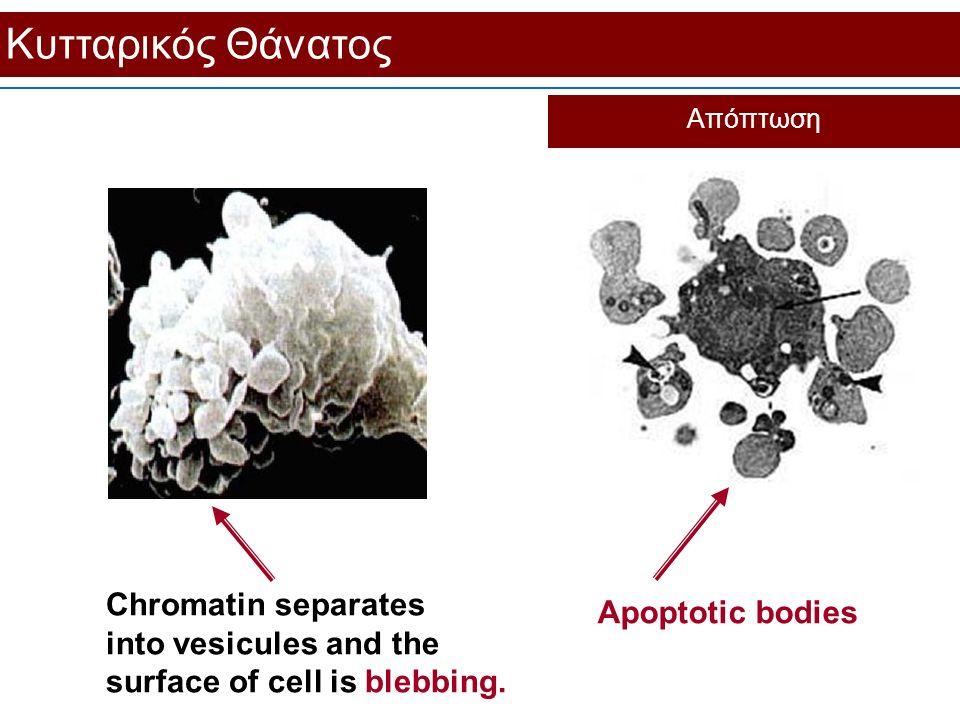 Κυτταρικός Θάνατος Απόπτωση. Apoptotic bodies.