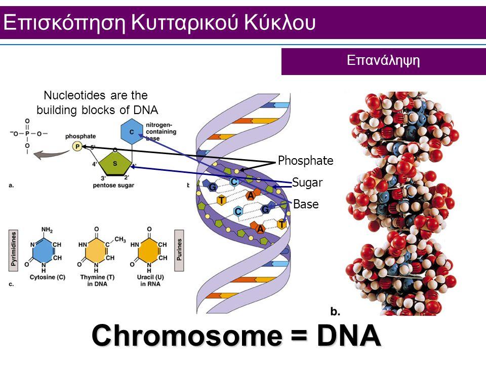 Chromosome = DNA Επισκόπηση Κυτταρικού Κύκλου Επανάληψη