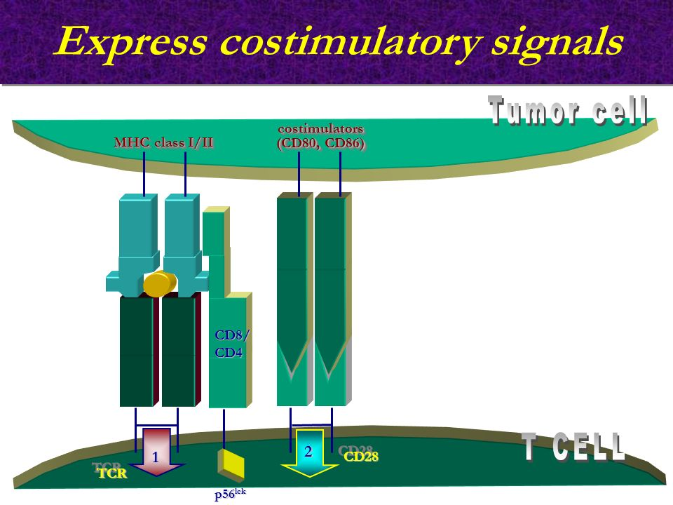 Express costimulatory signals