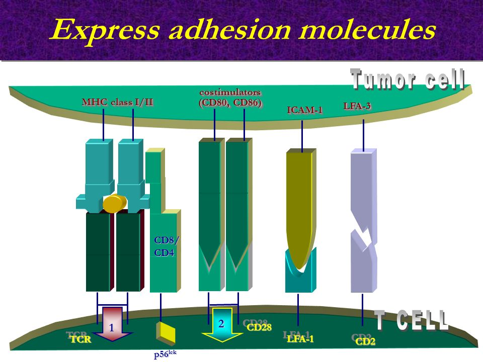 Express adhesion molecules