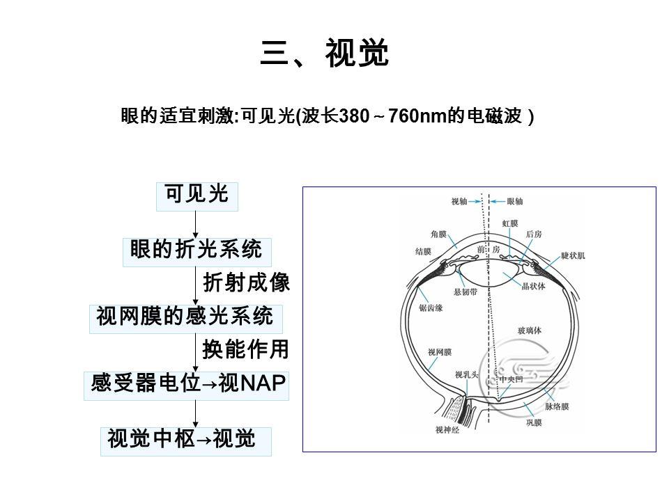 三、视觉 可见光 眼的折光系统 折射成像 视网膜的感光系统 换能作用 感受器电位→视NAP 视觉中枢→视觉