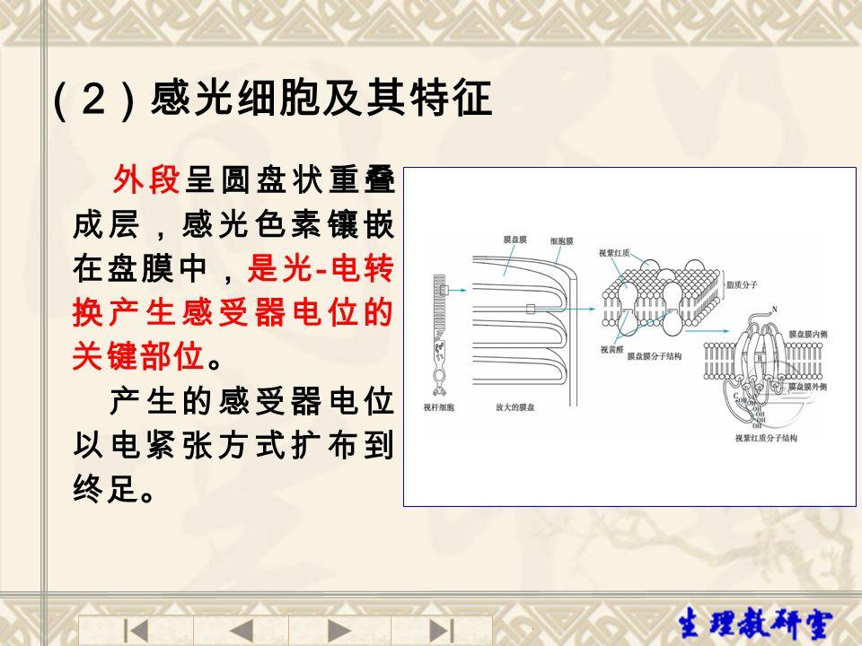 (2)感光细胞及其特征 产生的感受器电位以电紧张方式扩布到终足。