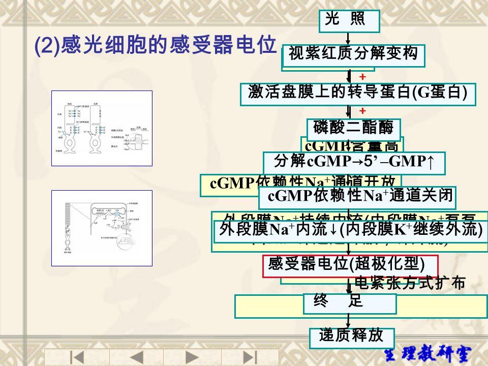 外段膜Na+持续内流(内段膜Na+泵泵出Na+,钾通道开放,钾外流)