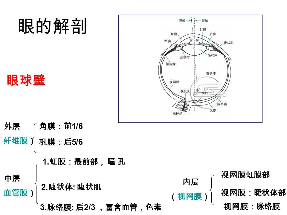 眼的解剖 眼球壁 外层 角膜:前1/6 (纤维膜) 巩膜:后5/6 1.虹膜:最前部, 瞳 孔 视网膜虹膜部 中层 内层 (血管膜)