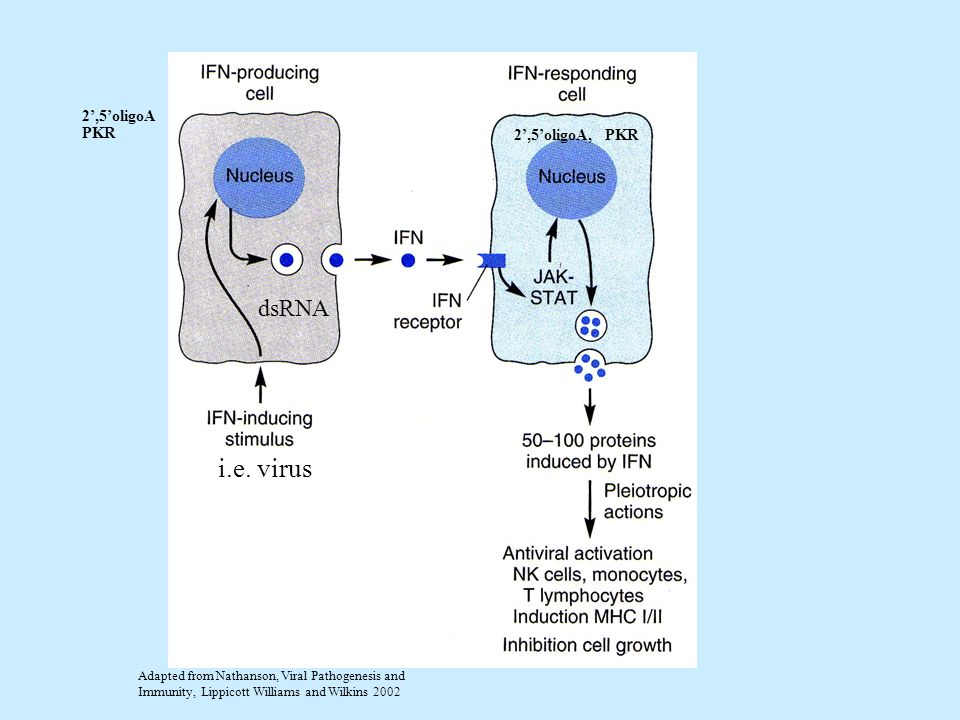 i.e. virus dsRNA 2',5'oligoA PKR 2',5'oligoA, PKR