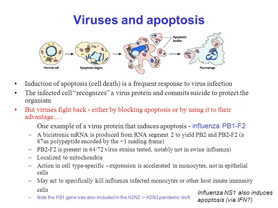 Viruses and apoptosis Induction of apoptosis (cell death) is a frequent response to virus infection.